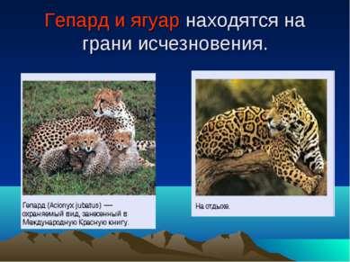 Гепард и ягуар находятся на грани исчезновения.