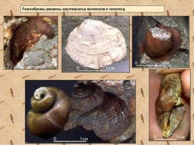Разнообразны раковины двустворчатых моллюсков и гастропод