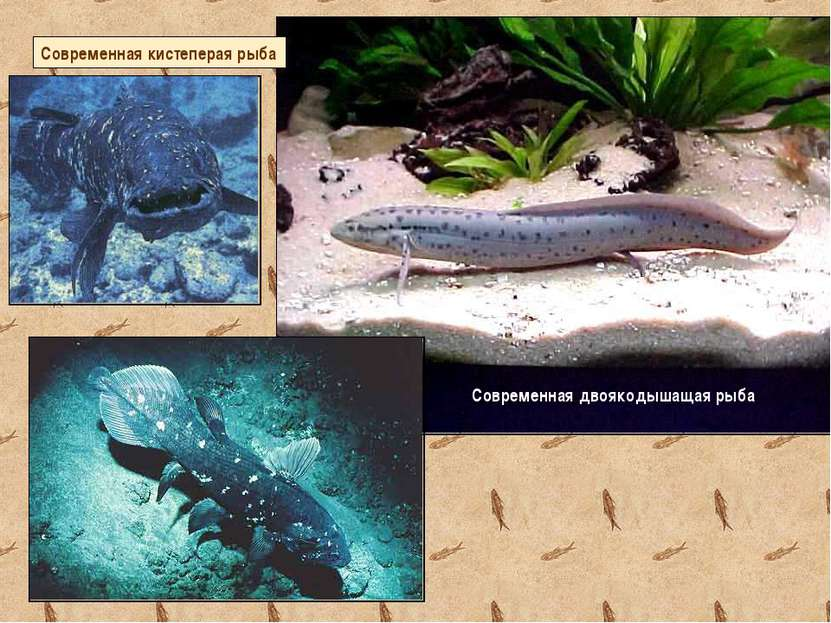 Современная двоякодышащая рыба Современная кистеперая рыба