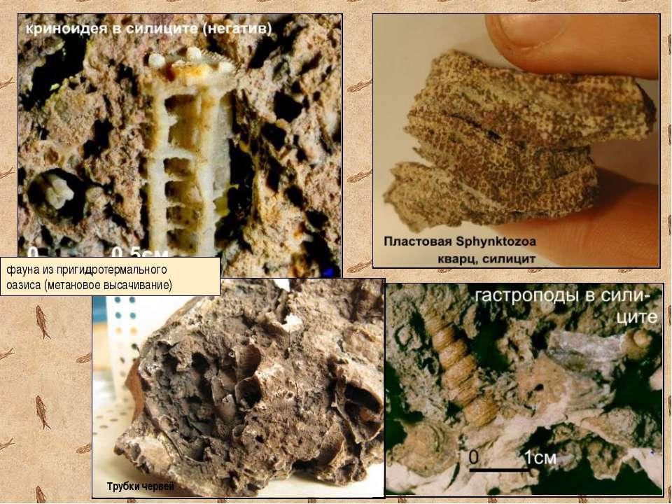 фауна из пригидротермального оазиса (метановое высачивание) Трубки червей