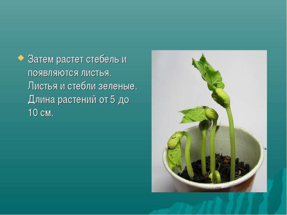 Затем растет стебель и появляются листья. Листья и стебли зеленые. Длина раст...