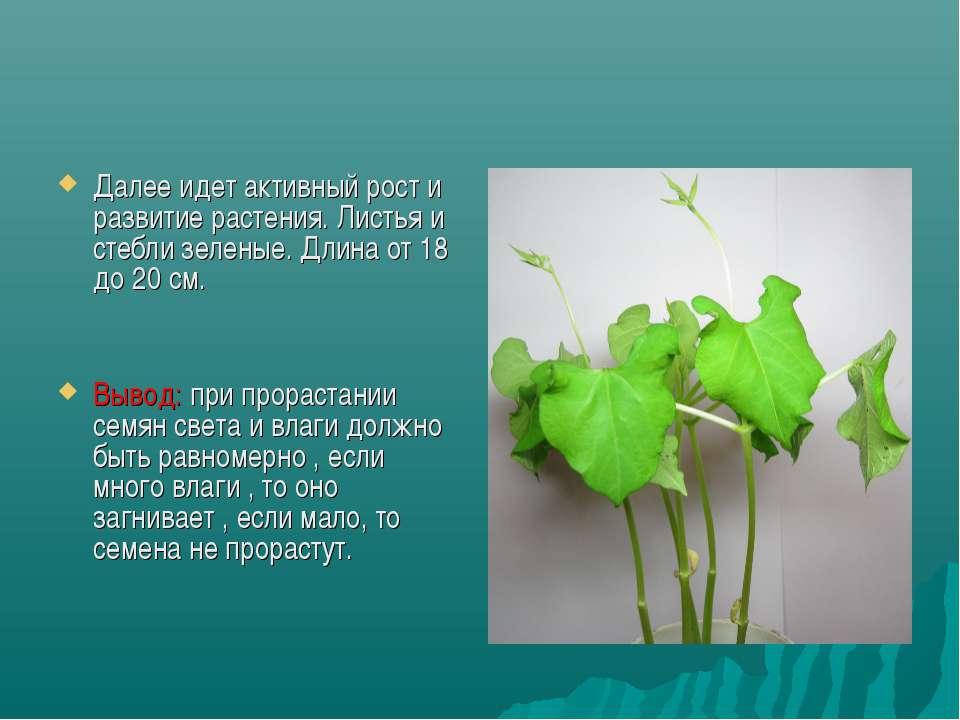 Далее идет активный рост и развитие растения. Листья и стебли зеленые. Длина ...