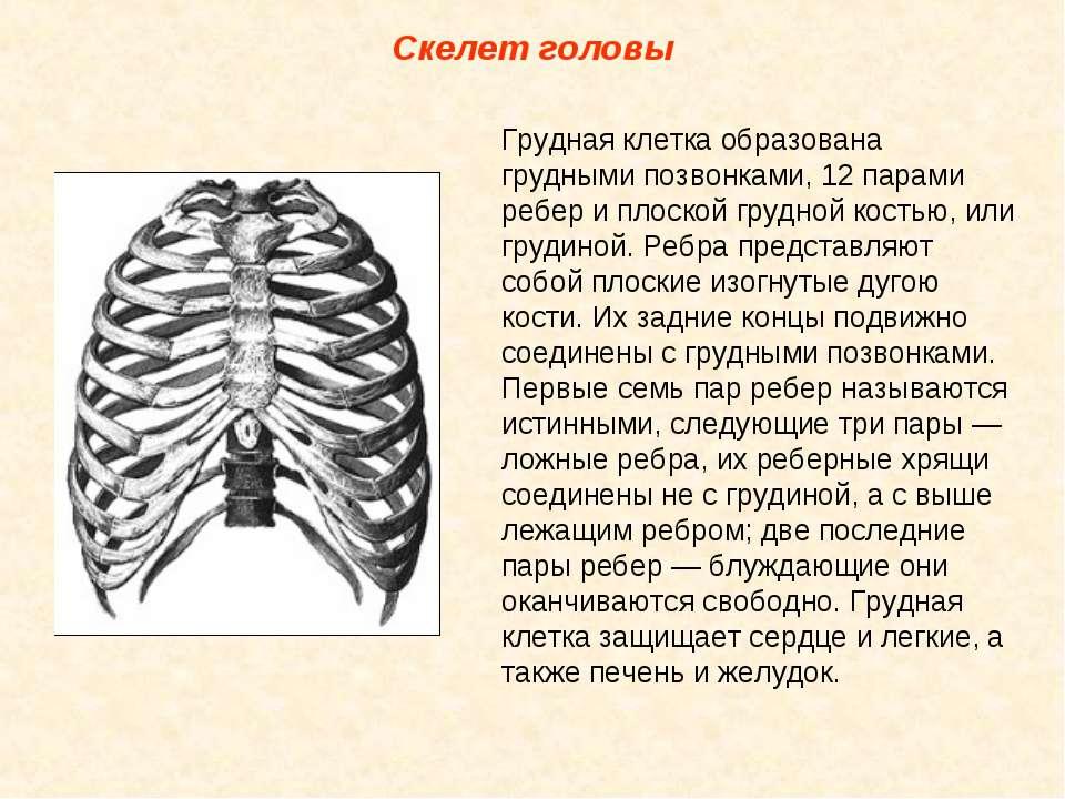 Скелет головы Грудная клетка образована грудными позвонками, 12 парами ребер ...