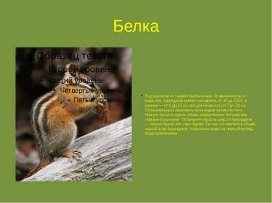 Белка Род грызунов из семейства беличьих. В зависимости от вида, вес бурундук...