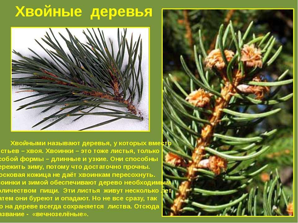 Хвойные деревья Хвойными называют деревья, у которых вместо листьев – хвоя. Х...