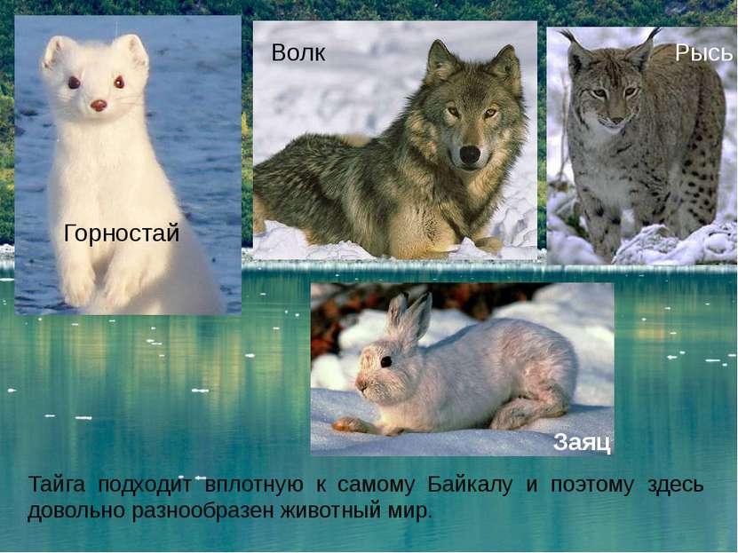 Тайга подходит вплотную к самому Байкалу и поэтому здесь довольно разнообразе...