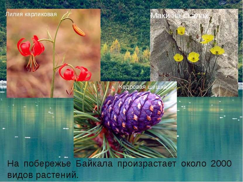 На побережье Байкала произрастает около 2000 видов растений. Лилия карликовая...