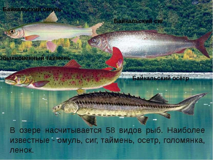 В озере насчитывается 58 видов рыб. Наиболее известные- омуль, сиг, таймень,...