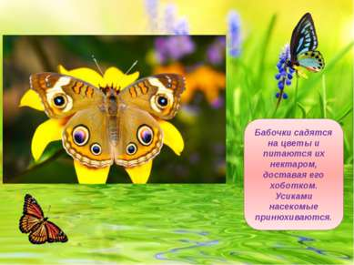 Бабочки садятся на цветы и питаются их нектаром, доставая его хоботком. Усика...