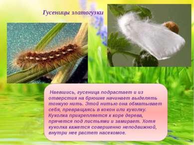 Гусеницы златогузки Наевшись, гусеница подрастает и из отверстия на брюшке на...