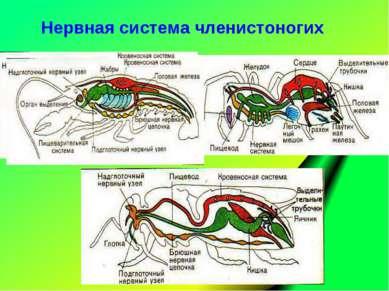 Нервная система членистоногих