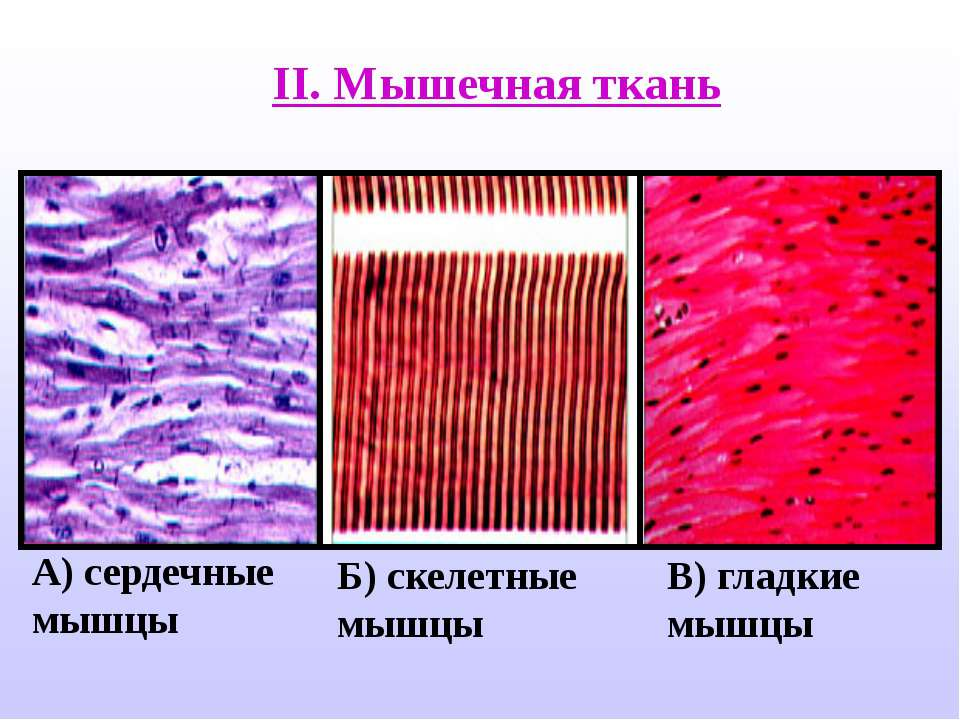 Фотоснимок гладких мышц