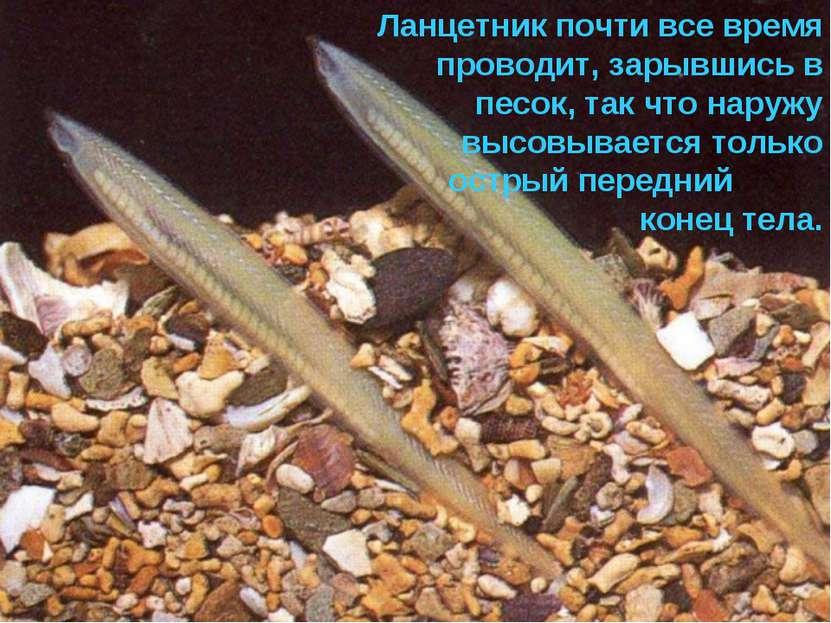 Ланцетник почти все время проводит, зарывшись в песок, так что наружу высовыв...