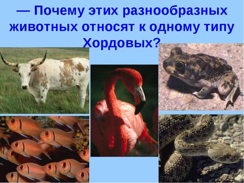 — Почему этих разнообразных животных относят к одному типу Хордовых?