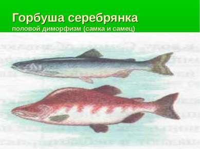 Горбуша серебрянка половой диморфизм (самка и самец)