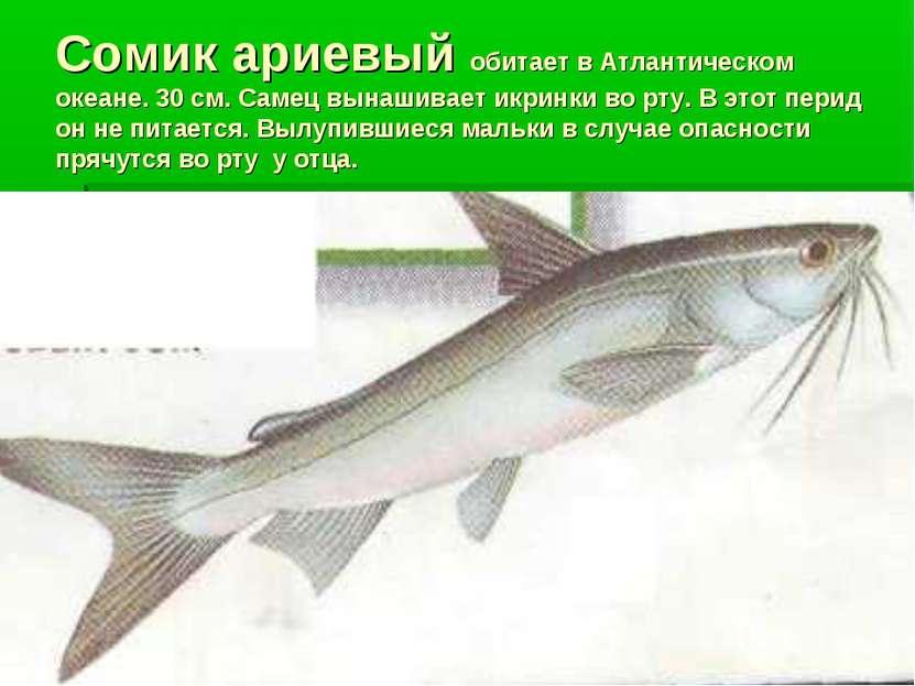 Сомик ариевый обитает в Атлантическом океане. 30 см. Самец вынашивает икринки...