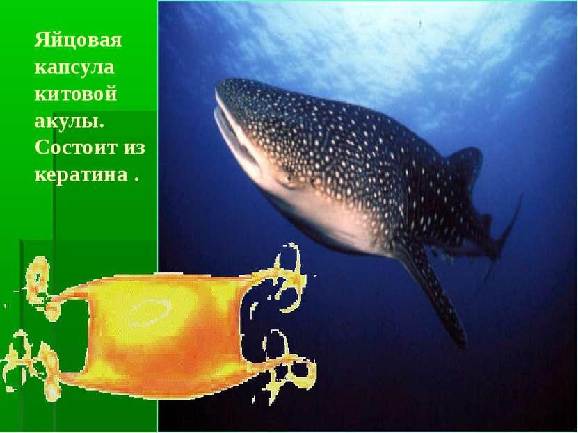 Яйцовая капсула китовой акулы. Состоит из кератина .