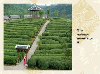 Это чайная плантация.