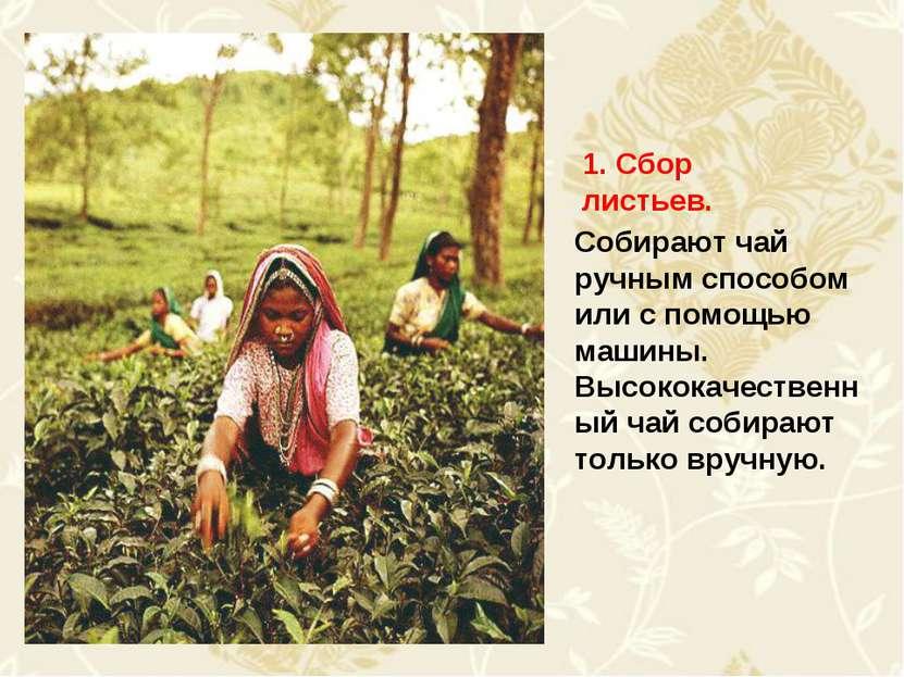 Собирают чай ручным способом или с помощью машины. Высококачественный чай соб...