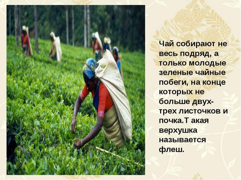 Чай собирают не весь подряд, а только молодые зеленые чайные побеги, на конце...
