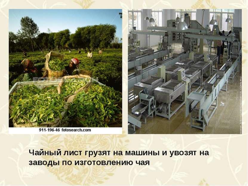 Чайный лист грузят на машины и увозят на заводы по изготовлению чая