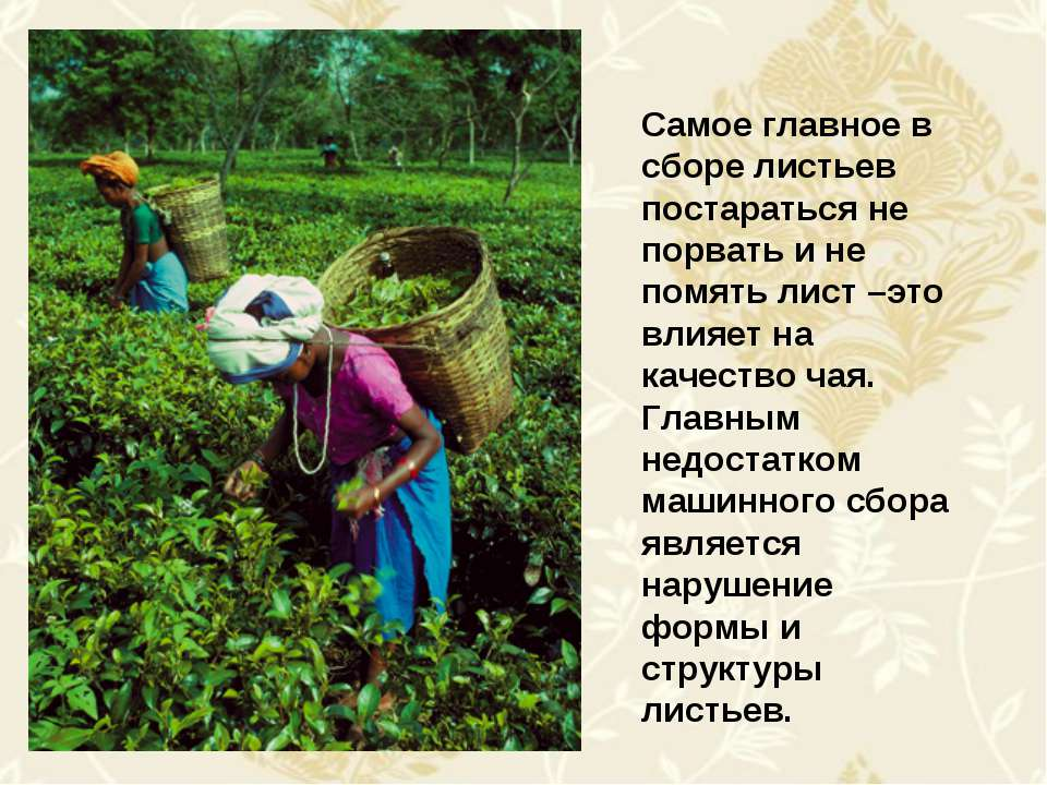 Самое главное в сборе листьев постараться не порвать и не помять лист –это вл...