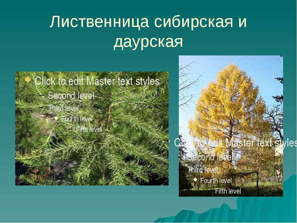 Лиственница сибирская и даурская