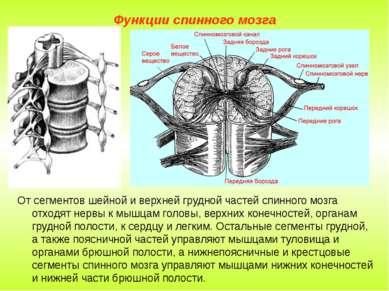 Функции спинного мозга От сегментов шейной и верхней грудной частей спинного ...