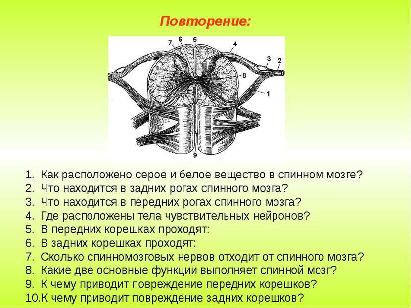Повторение: Как расположено серое и белое вещество в спинном мозге? Что наход...