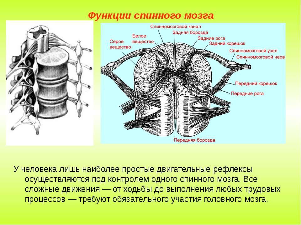 Функции спинного мозга У человека лишь наиболее простые двигательные рефлексы...