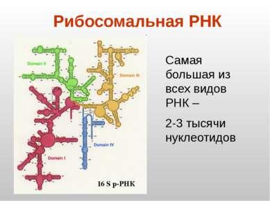 Рибосомальная РНК 16 S р-РНК Самая большая из всех видов РНК – 2-3 тысячи нук...