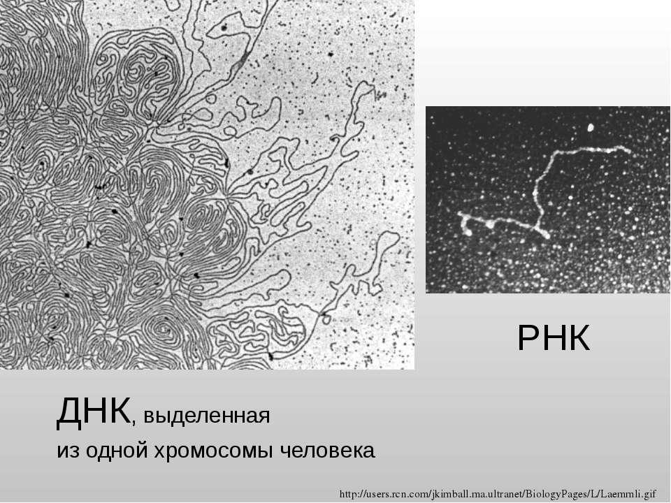ДНК, выделенная из одной хромосомы человека РНК http://users.rcn.com/jkimball...