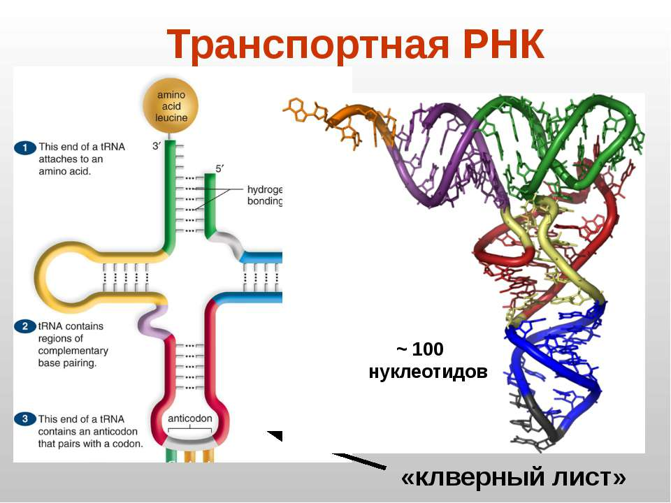 «клверный лист» Транспортная РНК ~ 100 нуклеотидов