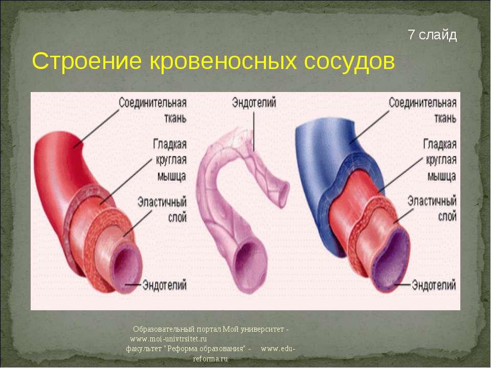 Строение кровеносных сосудов 7 слайд Образовательный портал Мой университет -...