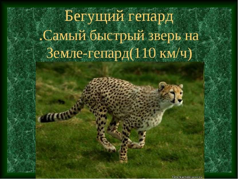 Бегущий гепард .Самый быстрый зверь на Земле-гепард(110 км/ч)