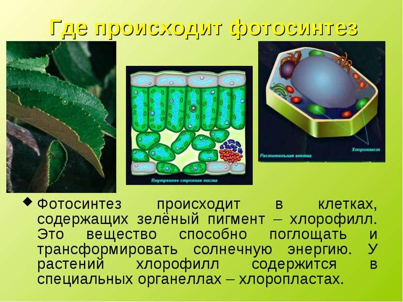 Где происходит фотосинтез Фотосинтез происходит в клетках, содержащих зелёный...