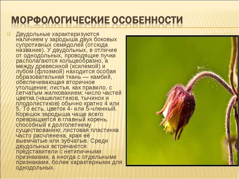 Двудольные характеризуются наличием у зародыша двух боковых супротивных семяд...