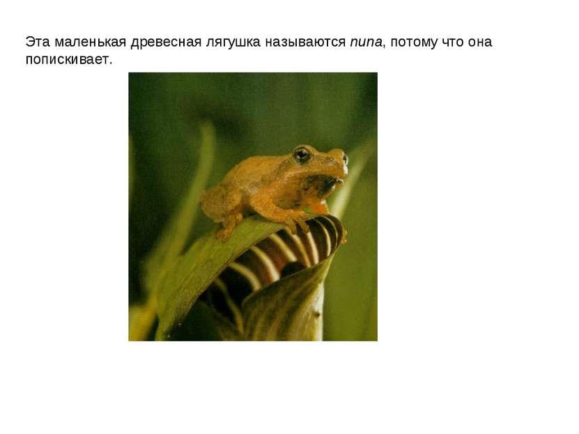 Эта маленькая древесная лягушка называются пипа, потому что она попискивает.