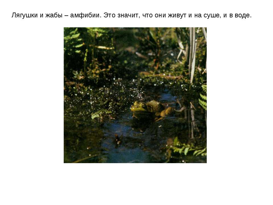 Лягушки и жабы – амфибии. Это значит, что они живут и на суше, и в воде.