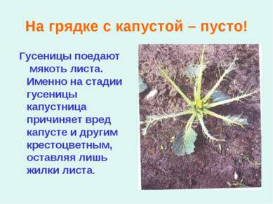 На грядке с капустой – пусто! Гусеницы поедают мякоть листа. Именно на стадии...