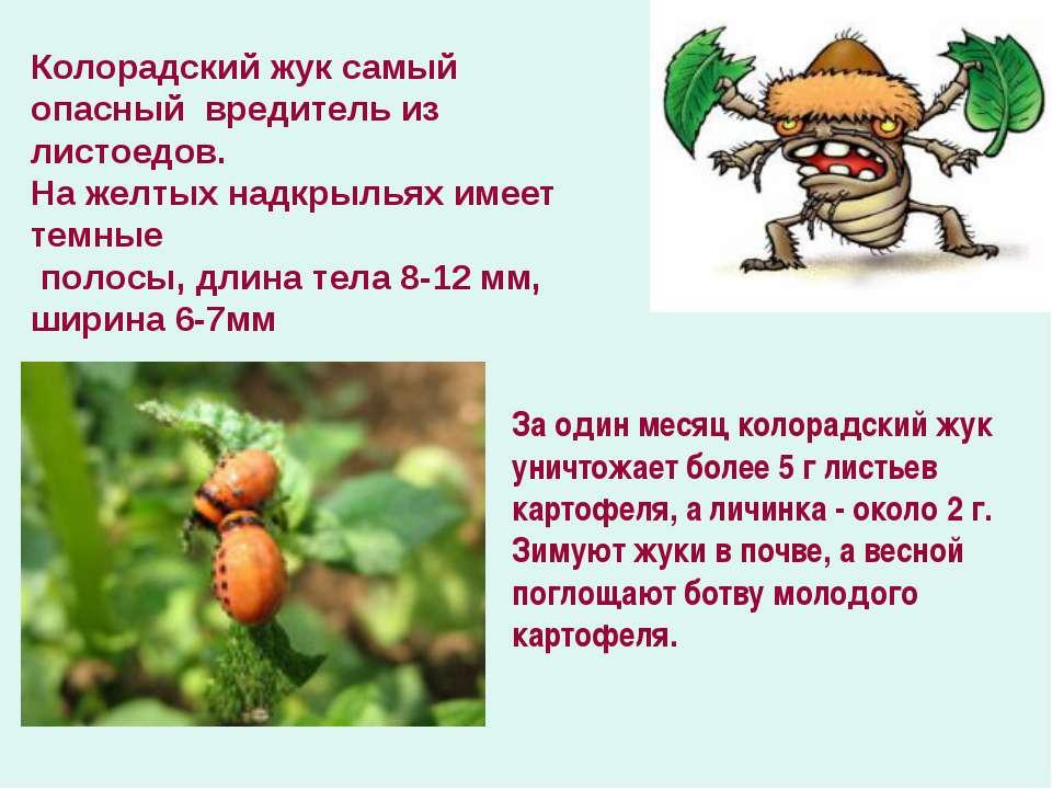 За один месяц колорадский жук уничтожает более 5 г листьев картофеля, а личин...