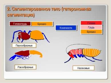 2. Сегментированное тело (гетерономная сегментация) Голова Брюшко Головогрудь...
