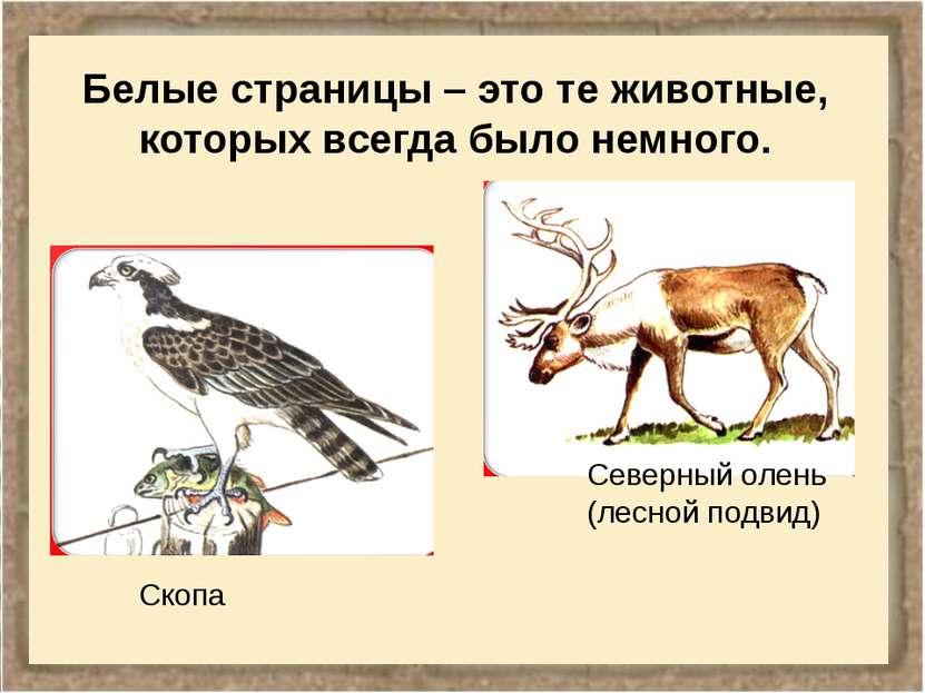 Белые страницы – это те животные, которых всегда было немного. Скопа Северный...