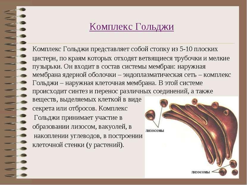 Комплекс Гольджи Комплекс Гольджи представляет собой стопку из 5-10 плоских ц...