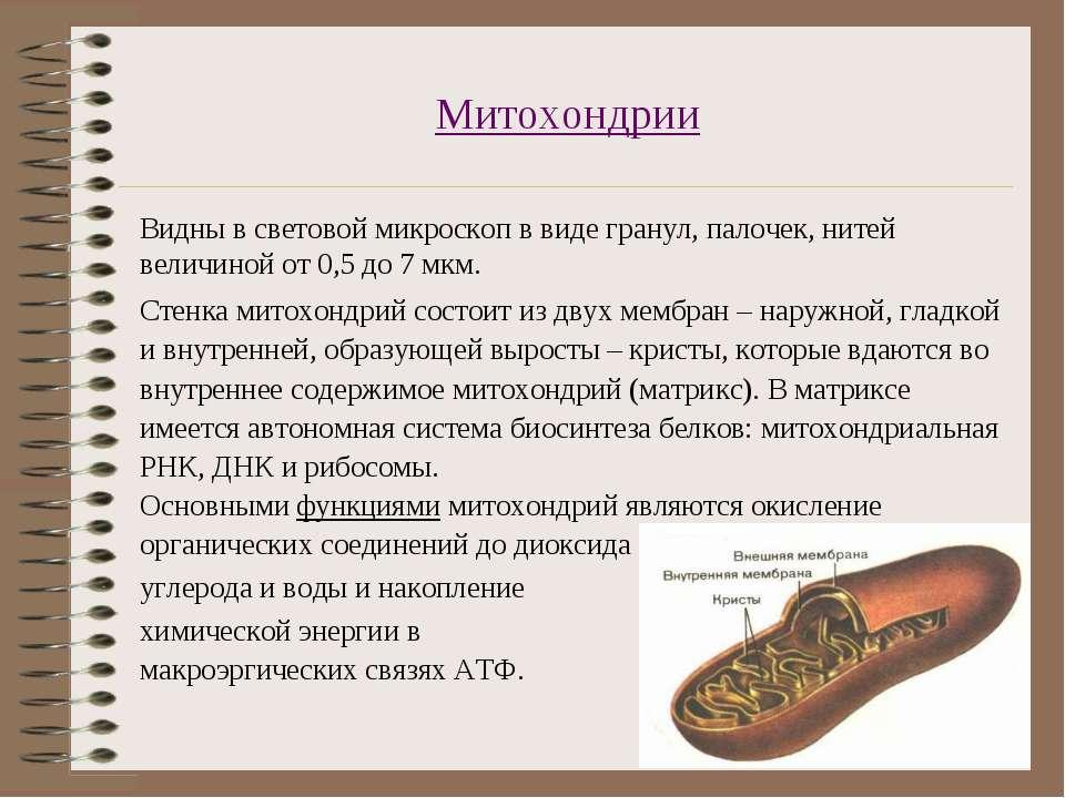 Митохондрии Видны в световой микроскоп в виде гранул, палочек, нитей величино...