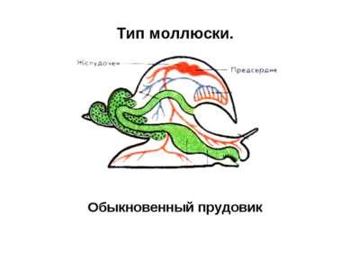 Тип моллюски. Обыкновенный прудовик