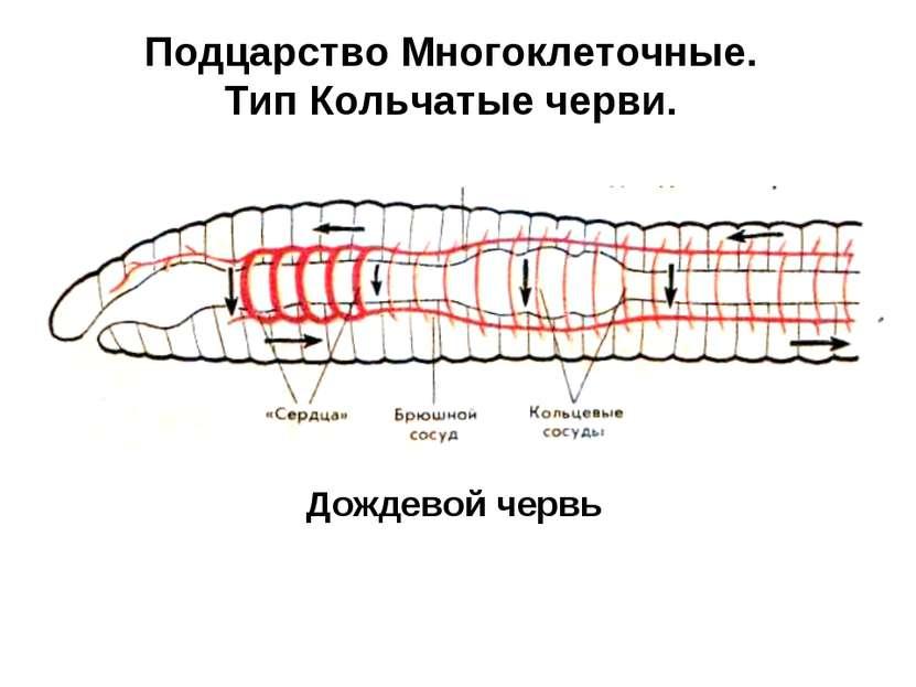 Подцарство Многоклеточные. Тип Кольчатые черви. Дождевой червь
