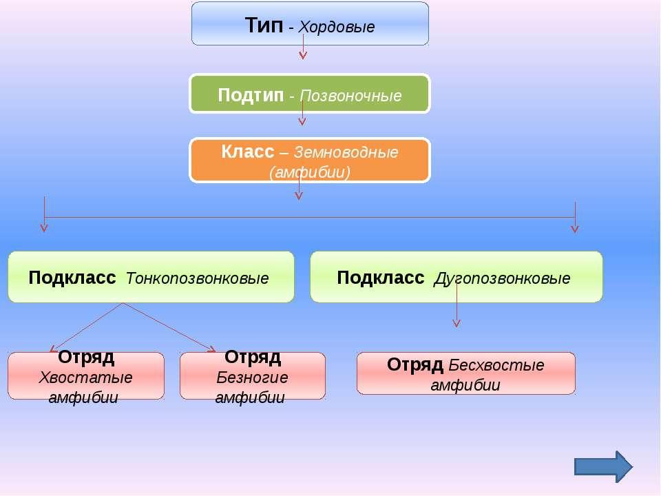 Тип - Хордовые Подтип - Позвоночные Класс – Земноводные (амфибии) Подкласс То...