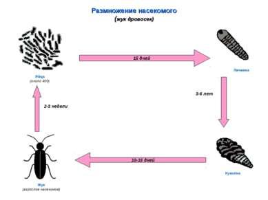 Размножение насекомого (жук дровосек) 15 дней 10-15 дней Яйца (около 400) Лич...