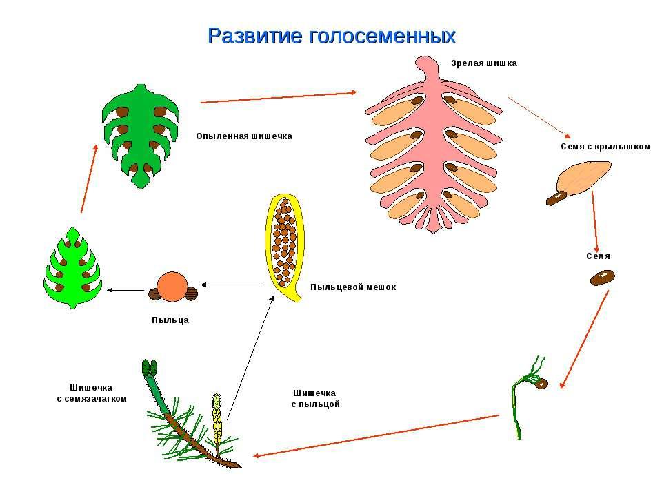 Развитие голосеменных Зрелая шишка Семя с крылышком Семя Шишечка с пыльцой Пы...